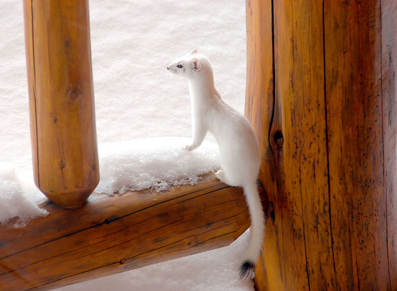 FT-Ermine on Porch