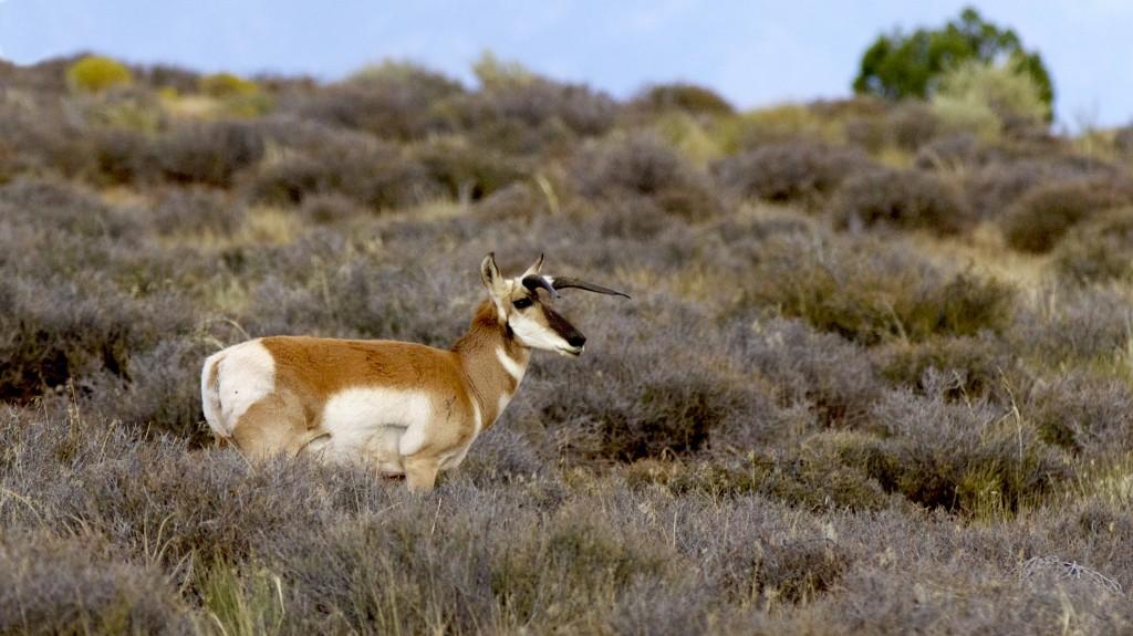 Antelope Horns