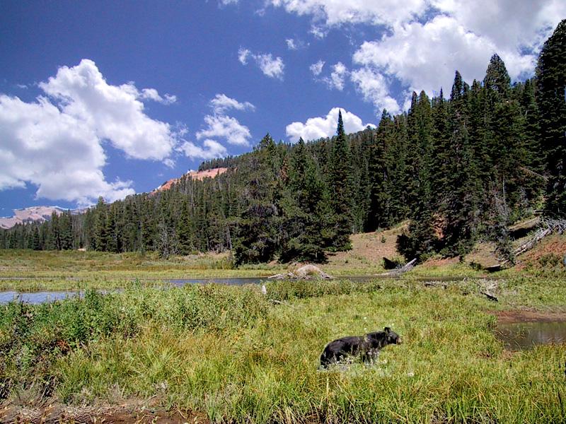 Black Bear on Horse Creek