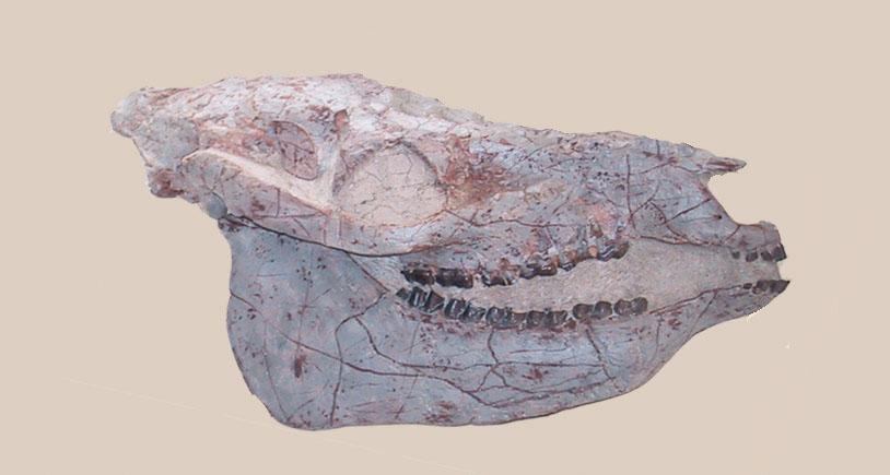 Horse-Equs Mesohippus