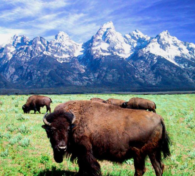 Teton Buffalo Bull