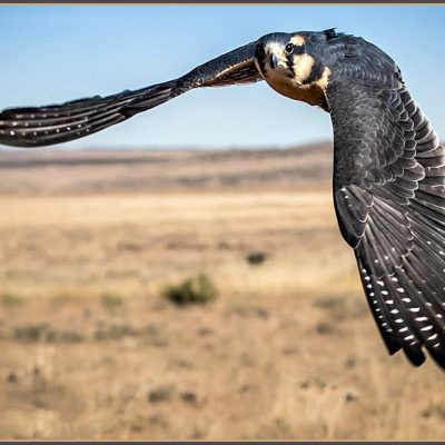 Aplomado Hawk