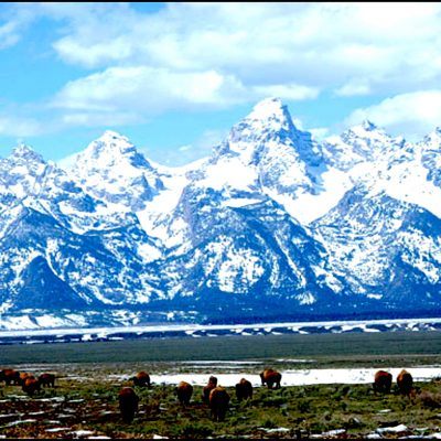 Buffalo - Grand Tetons