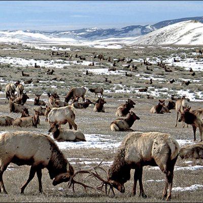 Elk Refuge - Jackson Hole