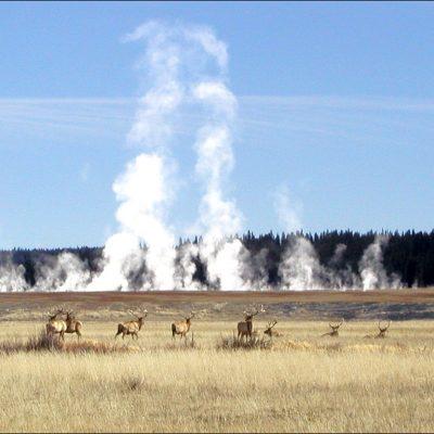 Firehole Elk - YNP