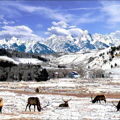Gros Ventre Bull Elk