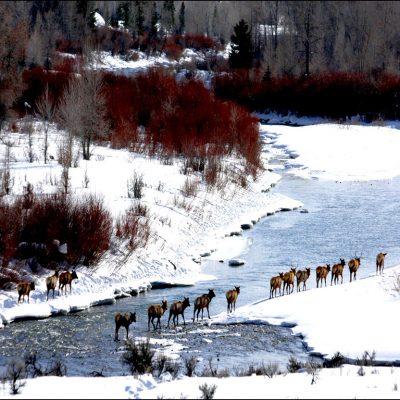 Gros Ventre River Elk