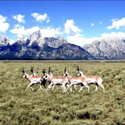 Jackson Hole Antelope