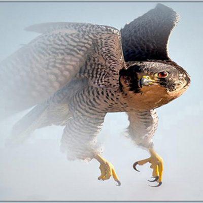 Prairre Falcon