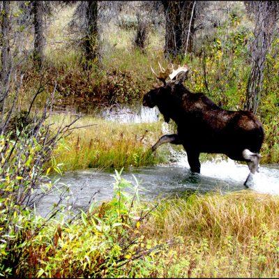 Moose Jackson Hole