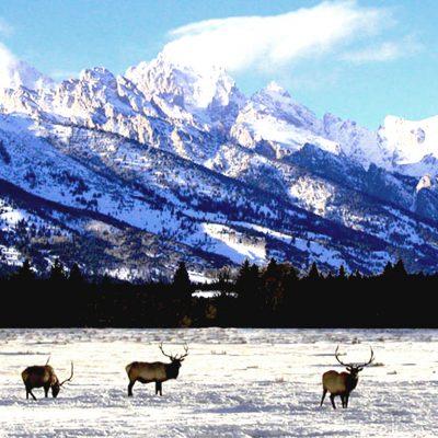 Bull Elk - TNP